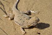 Secret Toad-Headed Agama — Stock Photo