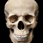 Skull Model — Stock Photo #5995794