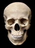 Modelo del cráneo — Foto de Stock