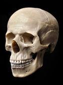 Skull Model — Stock Photo