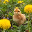 Stock Photo: Chicken among dandelions