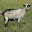 Goat on a green grass - Stock Photo