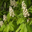 Horse-chestnut inflorescences - Stock Photo
