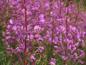 Willow-herb (Ivan-tea) — Stock Photo