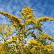 Stock Photo: Blossoming golden rod Canadiagainst sky