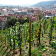 Stock Photo: Young vineyard in center of Prague, Czechia