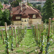 Young vineyard in the center of Prague, Czechia — Lizenzfreies Foto
