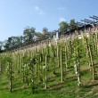 Young vineyard in center of Prague, Czechia — Stock Photo #5889962