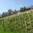 Young vineyard in center of Prague, Czechia — стоковое фото #5889962