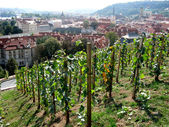 Young vineyard in the center of Prague, Czechia — Stockfoto