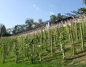 Mladé vinice v centru prahy, czechia — Stock fotografie