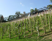 Young vineyard in the center of Prague, Czechia — Stock Photo