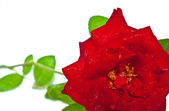 Red rose closeup isolated on white — Stock Photo