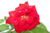 Red rose closeup isolated on white at center — Stock Photo