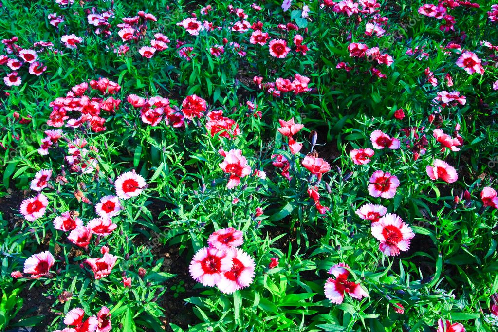 Flowerbed of Dianthus barbatus — Stock Photo #6376181