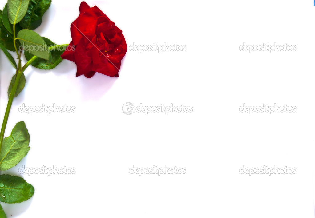 Red rose put at left frame  isolated on white — Stock Photo #6379508