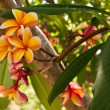 Orange plumeria flowers on the tree — Stock Photo