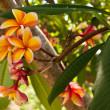 Orange plumeria flowers on the tree — Stock Photo