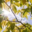 Sun ray  between green leaves — Stock Photo
