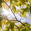 Sun ray between green leaves — Foto Stock #6383806