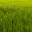 Paddy field in Thailand tilted to left — Stock Photo #6387137