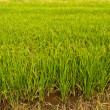 Rice plant in paddy field in Thailand tilted to left — Stock Photo