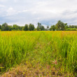 Walk way in paddy field — ストック写真 #6387494