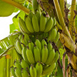 Group of green raw bananas on tree from side - Stock Photo