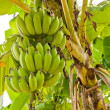 Group of green raw bananas on tree - Stock Photo