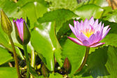 Pink lotus flower in pond with green leaves — Stock Photo