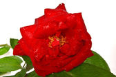 Center red rose closeup isolated on white — Stock Photo
