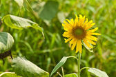 Sunflower stand out from green grasses horizon — Stock Photo