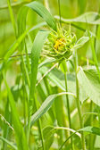 Young sunflower grow among green grasses — Stock Photo