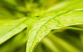 Hojas de color verde con un chorro de gotas hacia fuera — Foto de Stock