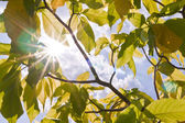 Sun ray between green leaves — Foto Stock