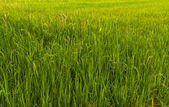 Paddy field in Thailand tilted to left — Stock Photo