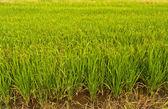 Reispflanze im reisfeld in thailand nach links geneigt — Stockfoto
