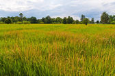 Green paddy field in Thailand — Stock Photo