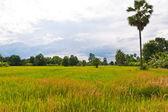 Verde campo de arroz na tailândia com o céu — Fotografia Stock