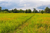 Walk way in paddy field tilted to right — Stock Photo