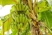 Grupo de plátanos verdes crudos en árbol — Foto de Stock