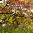 Japanese Maple in botanic garden - Stock Photo
