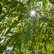 The sun filtering through bamboo's leaves — Stock Photo