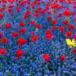 Red tulips forming the background for a single yellow one — Stock Photo #5807954
