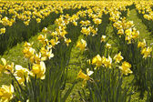 Field of yellow darffodils — Stock Photo