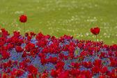 два красных тюльпана — Стоковое фото