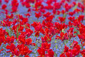A field of red tulips — Foto de Stock