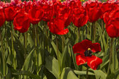 One red tulip standing out from the other tulips — Stock Photo