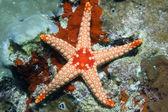 Orange starfish. — Stock Photo