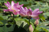 Two fully bloomed lotus flowers — Stock Photo